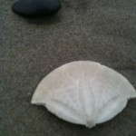 top half of sand dollar