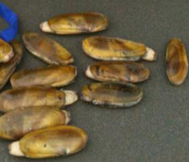 Oregon beach harvested razor clams