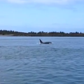 orca whale swimming