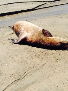 seal in oregon killed by shark